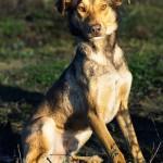 Dogo (1)