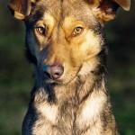 Dogo (3)