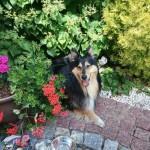 Lassie w nowym domu (2)