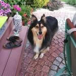 Lassie w nowym domu (4)