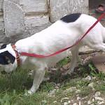 Pies Łatek